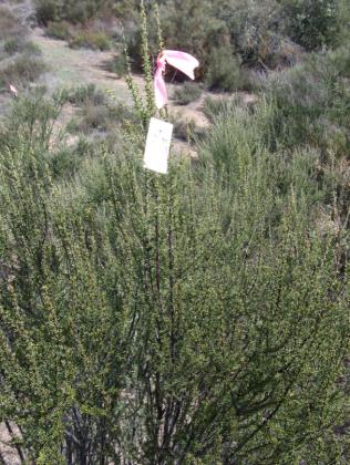 Tagged experimental shrub.